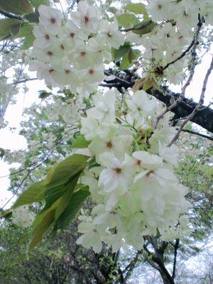 Green cherry blossoms